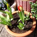 tulpen4.jpg